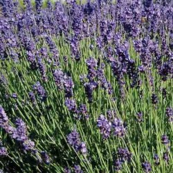 Lavender, 'Sharon Roberts', Lavendula angustifolia