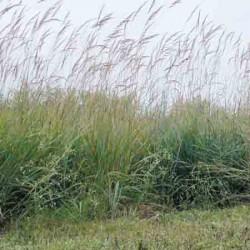 Indian Grass, Sorghastrum Nutans