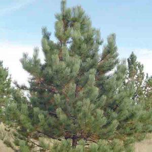 Ponderosa Pine, Pinus ponderosa
