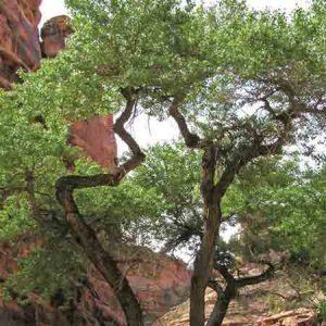 Rio Grande Cottonwood, Populus Fremontii