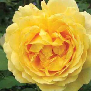 Rose, Rosa Golden Celebrations