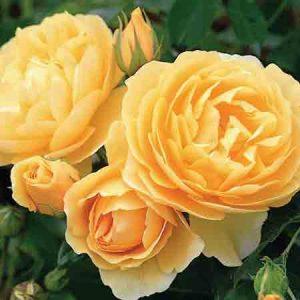 Rose, Rosa Graham Thomas