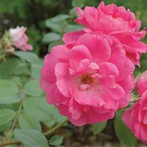 Rose, Rosa Morden Centennial