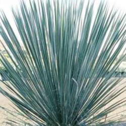 Soaptree Yucca, Yucca elata