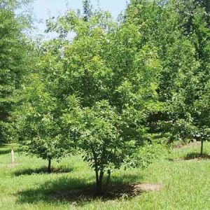 Texas Red Oak, Quercus buckleyi
