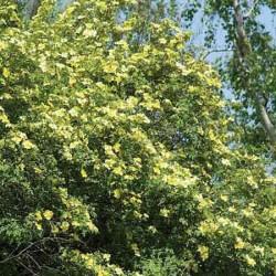 Yellow Shrub Rose, Rosa xanthina