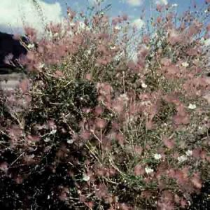 Apache Plume, Fallugia paradoxa