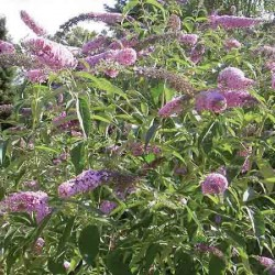 Purple Butterfly Bush, Buddleia davidii