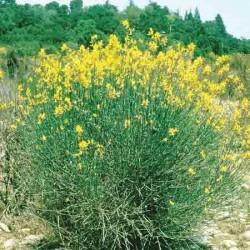 Spanish Broom, Spartium junceum
