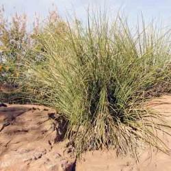 Bear Grass, Nolina macrocarpa