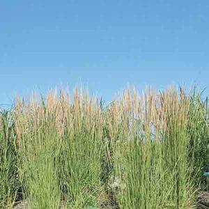 Feather Reed Grass, Calamagrostis acutiflora