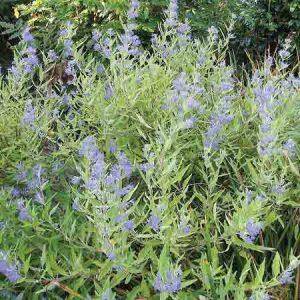 Blue Mist Spirea, Caryopteris x 'Clandonennsis'