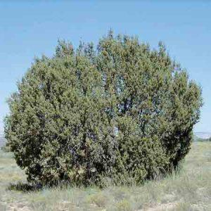 Desert Juniper, Juniperus monosperma