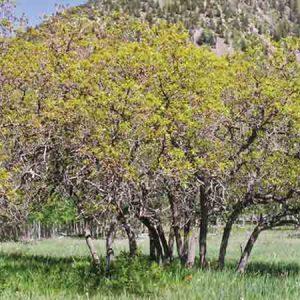 Gambels Oak, Quercus gambelii