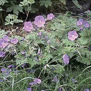 Hardy Geranium, Geranium s 'Cranesbill'