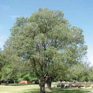 Hybrid Elm, Ulmus x