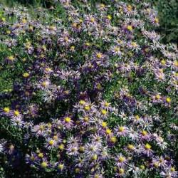 Purple Aster, Aster bigelovii