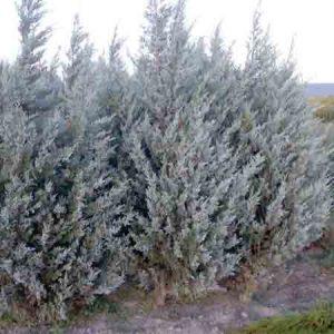 Rocky Mountain Juniper, Juniperus scopulorum