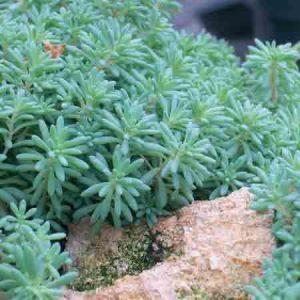Blue Oakleaf, Stonecrop Sedum Sp.