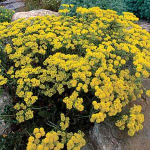 Sulphur Flower, Eriogonum umbellatum