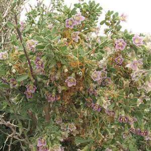 Wolfberry, Lycium pallidum