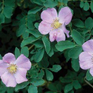 Wood Rose, Rosa woodsii